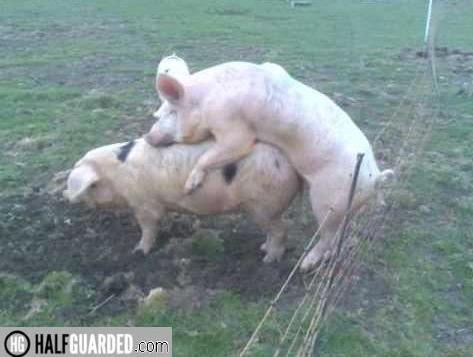 david-cameron-sex-with-pig