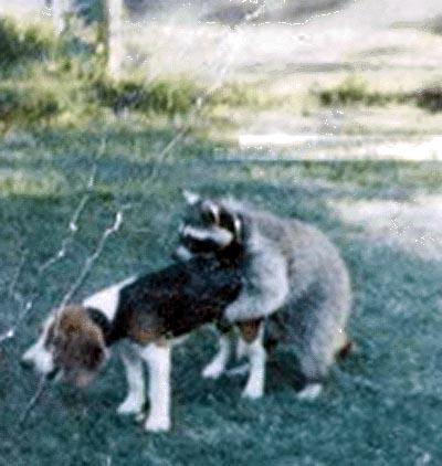 scary raccoon